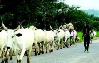 Photo of Cattle Colonies: Yoruba Youth Group Rejects FG's Plan