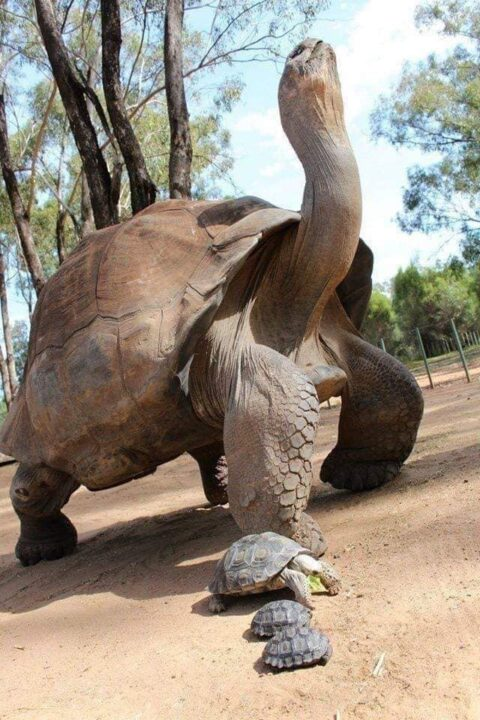 Photo of PHOTOS: Oldest Tortoise In Africa, Alagba Dies At 344-year-old In Soun Ogbomoso's Palace