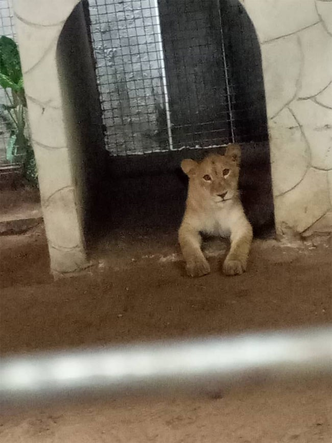Photo of PHOTOS: Man Keeps Lion At Lagos Residential Building