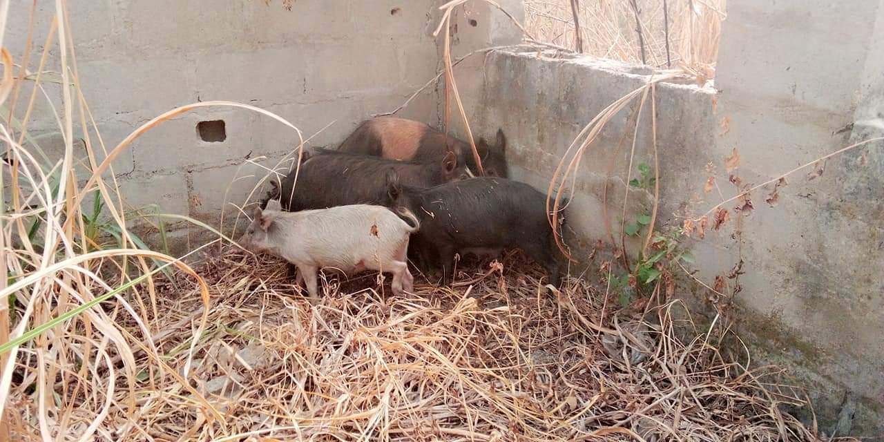 Photo of Drama as Ekiti Council Chairman arrests 10 pigs